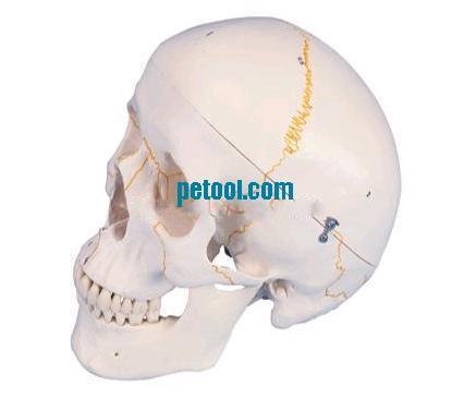 成年人分离头颅骨着色模型 成人分离头颅骨着色模型 分离头颅骨模型