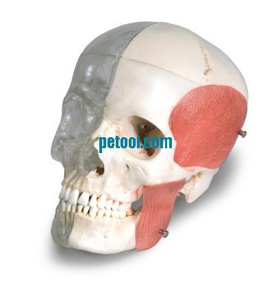 型 头颅模型 颅骨模型 头骨