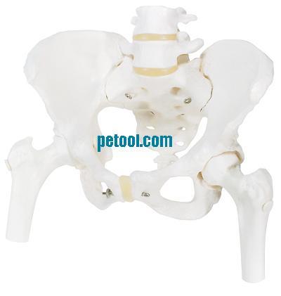 女性骨盆附盆底肌和神经模型 女性骨盆附盆底肌和神经模型 女性盆腔