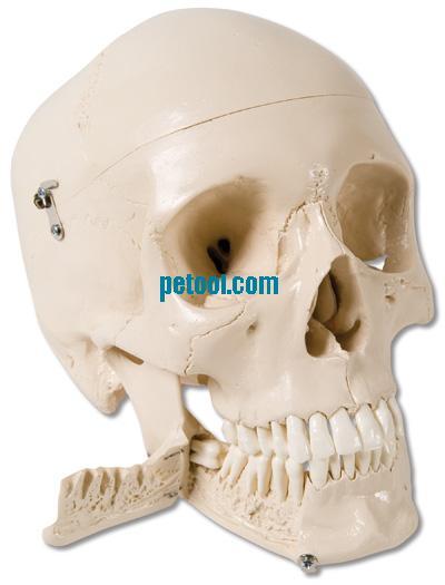 型 头颅模型 颅骨模型