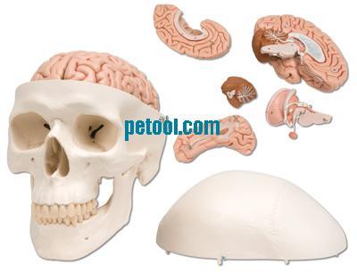 型 头颅模型 颅骨模型 头骨模型 脑模型