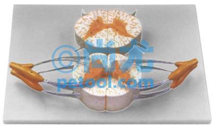 展示了脊髓连脊神经立体形态以及脊髓横切面等结构
